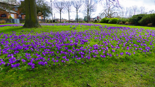 Crocus en masse, Stratford on Avon