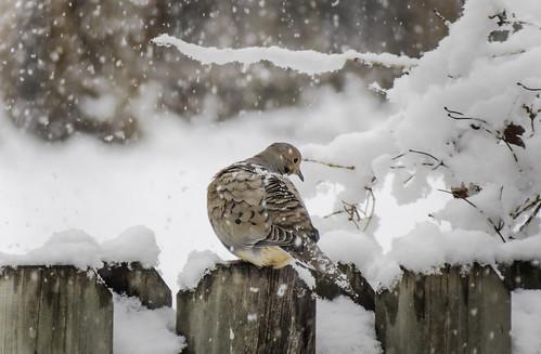 spring snow dove wildlife nature minnesota birds outdoors april bird aprilsnow birdinsnow mourningdove snowcovered springsnowstorm