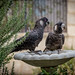 Carnaby's black Cockatoos visiting today. by Ref54