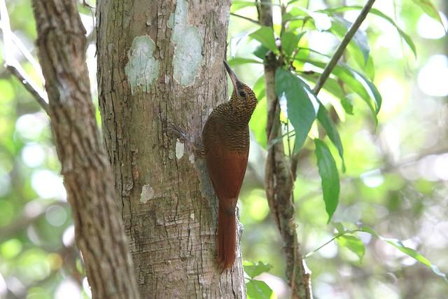 Northern Barred Woodcreeper / Grimpar vermiculé / Dendrocolaptes sanctithomae