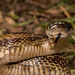 Midland (Gray) Rat Snake by Feathers and Scales