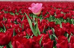 Tulips. Tulpen. Egmond. by elsa11