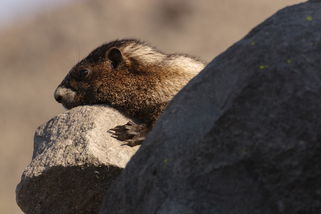 A hoary marmot rests on a rock in the late afternoon on the Summerland Trail in the Sunrise area of Mount Rainier National Park