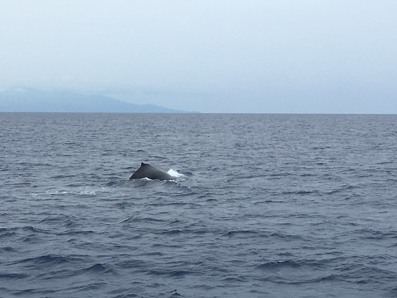 Whalewatching in Maui