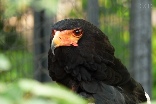 Beautiful Bateleur