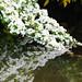 Hawthorn flowering season