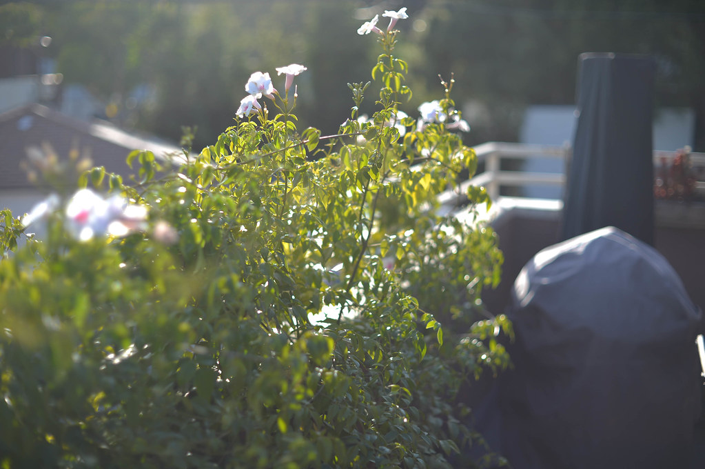 bower vine