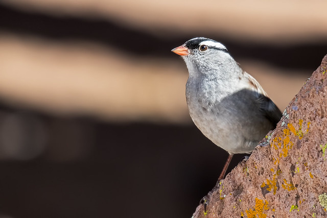 White-crowned-Sparrow-33-7D2-051218