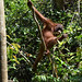 Orangutan of the Month: Allisson