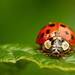 Fierce looking Harlequin ladybird