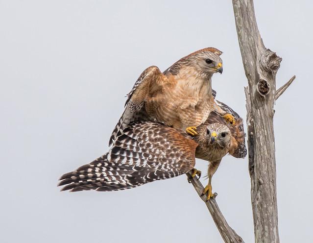 Red-shouldered Hawk, Nikon D750, Sigma 150-600mm F5-6.3 DG OS HSM   S