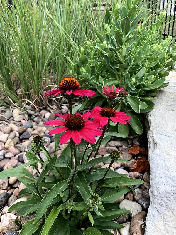IMG_2181GlowingDreamConeflowers