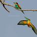 Bee-eaters - Bijeneters