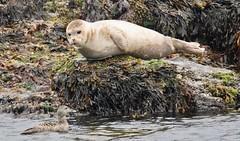 Harbour Seal meets Eider Duck