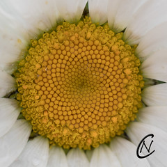 Closer up - Photo of Saonnet