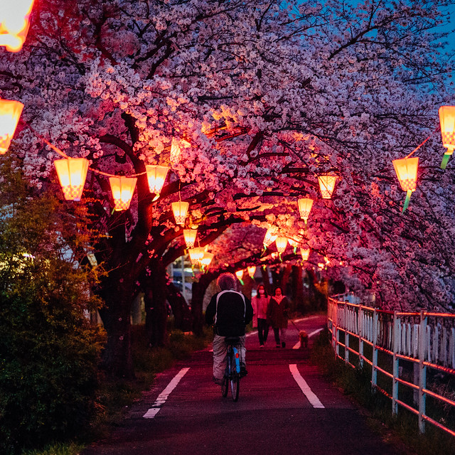 CherryBlossoms_37