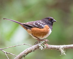 Spotted Towhee