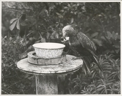 "<p>Title<br /> Kapiti Island<br /> <br /> Publicity Caption<br /> Wild Kaka feeding at feeding bowl.<br /> <br /> Photographer<br /> E.P. Christensen <br /> <br /> March 1949, Kapiti Island.<br /> <br /> Archives New Zealand Reference:<br /> AAQT 6539 W3537 40 / A11306 <a href=""https://www.archway.archives.govt.nz/ViewFullItem.do?code=24457175"" rel=""nofollow"">www.archway.archives.govt.nz/ViewFullItem.do?code=24457175</a><br /> <br /> <br /> For further enquiries email research.archives@dia.govt.nz<br /> <br /> Material from Archives New Zealand Te Rua Mahara o te Kāwanatanga</p>"