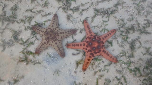 Knobbly sea star (Protoreaster nodosus) with hybrid