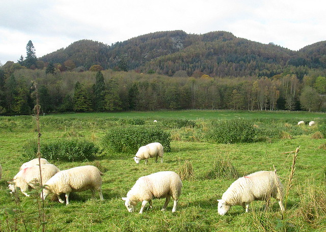 Dunkeld sheep