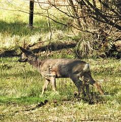 Roe Deer Stag - Thornley Hide