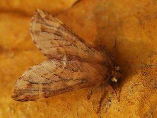 Ptilophora plumigera ♂ - Plumed prominent (male) - Хохлатка перистоусая (самец)