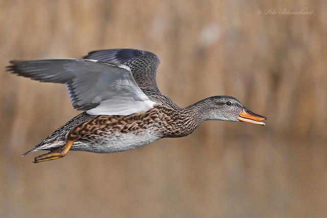 Gadwall (explored)
