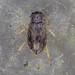 Water Beetle - Helophorus aequalis