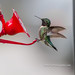 Humminbird by B.MacLean