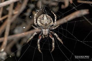 Orb weaver spider (Neoscona triangula) - DSC_2611