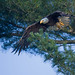Bald Eagle leaving the nest tree