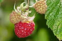 Red Raspberry (Rubus idaeus) - Photo of Fleuré
