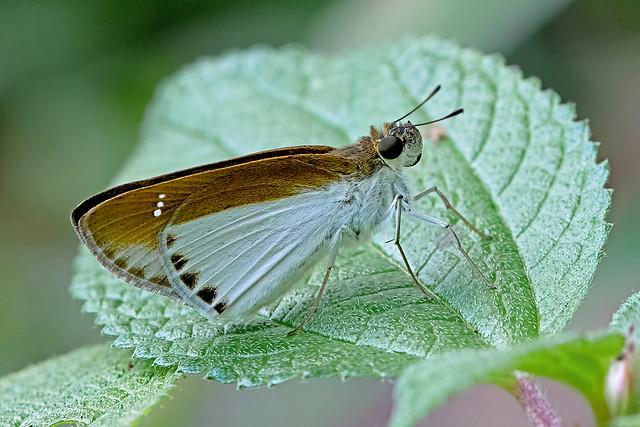 Iton semamora - the Common Wight (female)