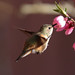 Hummingbird in Peach Blossom