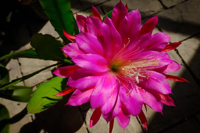 Epiphyllum 6697