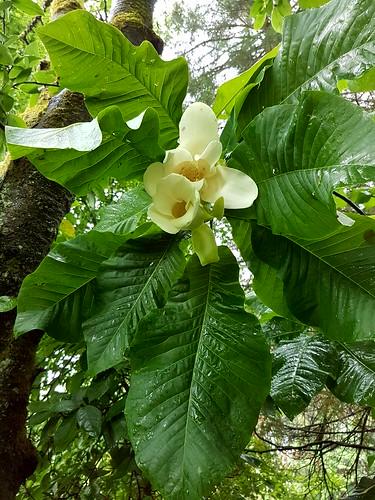 Magnolia Macrophila