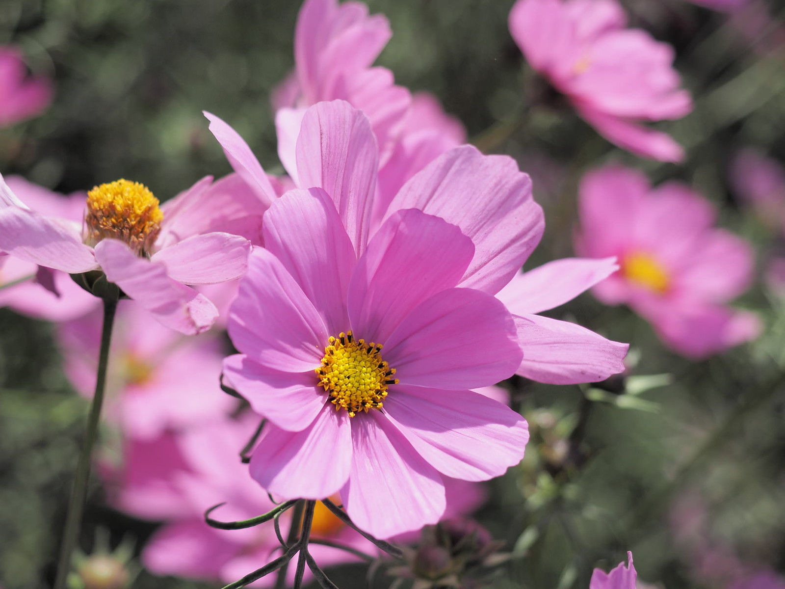 Cosmos bipinnatus, commonly called the garden cosmos or Mexican aster