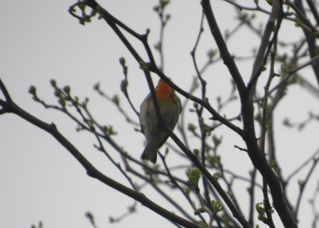 Terrible Photo of Blackburnian Warbler