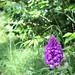 Pyramidal Orchid in Bath