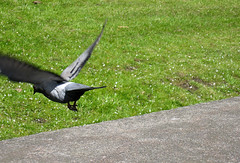 animal, wing, fauna, lawn, bird, crow-like bird, wildlife,