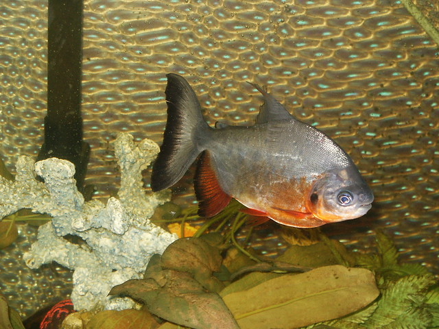 Red-bellied Pacu Flickr - Photo Sharing!