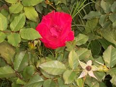 shrub(0.0), rosa rubiginosa(0.0), rosa acicularis(0.0), garden roses(1.0), floribunda(1.0), flower(1.0), leaf(1.0), plant(1.0), flora(1.0), rosa rugosa(1.0), petal(1.0),