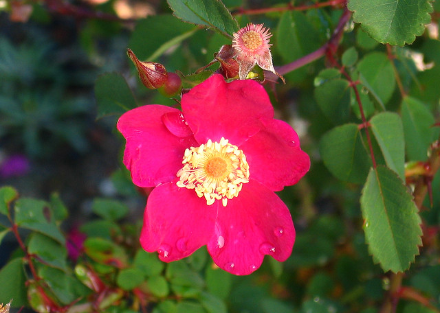 Rosa woodsii var. ultramontana | Flickr - Photo Sharing!