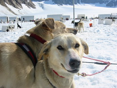 street dog(0.0), greenland dog(0.0), dog(1.0), winter(1.0), snow(1.0), pet(1.0), mammal(1.0), golden retriever(1.0), sled dog racing(1.0),