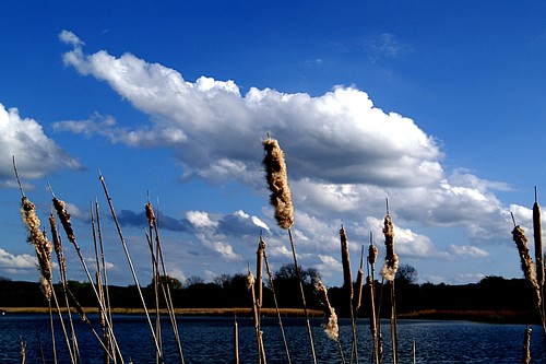 bullrushes and clouds