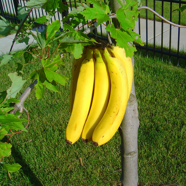 banana treeYellow Banana Tree