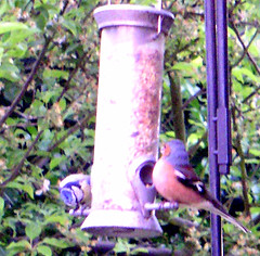 garden(0.0), bluebird(0.0), fauna(1.0), bird feeder(1.0), bird(1.0), wildlife(1.0),