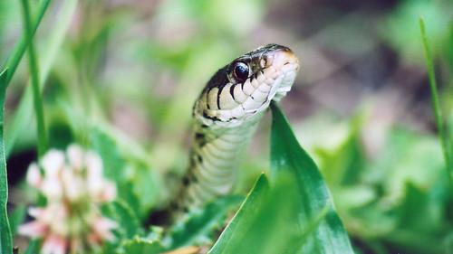 macro fauna 510fav geotagged reptile snake topv999 fav creature tinicum gartersnake thamnophissirtalis geolat39894897 geolon75254890 easterncommongartersnake johnheinznwr 555v5f views1000 interestingnessity