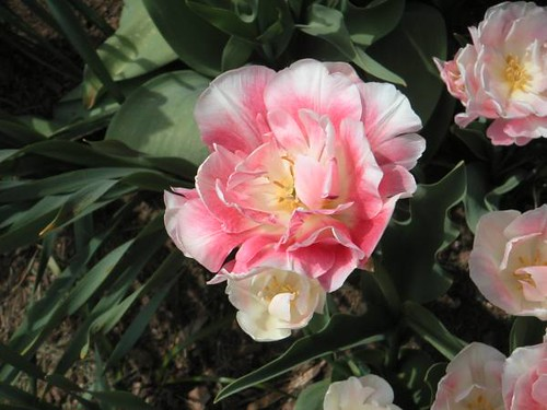 Tulip - Double Pinks