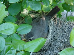 robin's nest May 27, 2005 - 6:30 a.m.